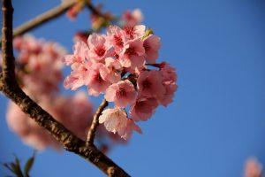 隅田川公園桜祭り